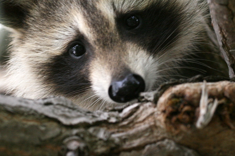 Raccoon closeup