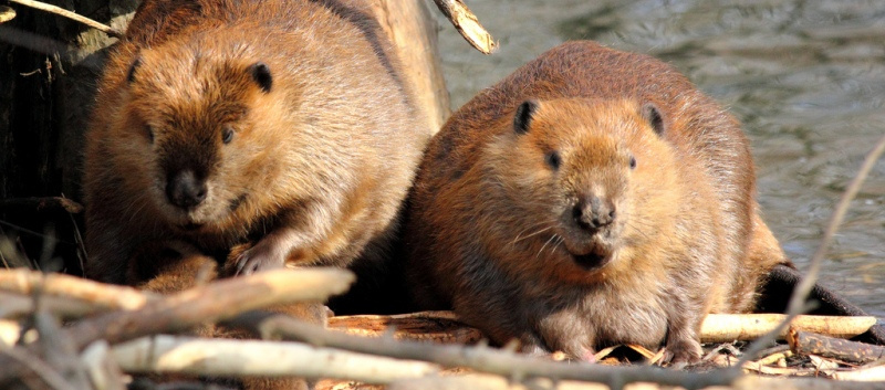 Maw and Paw Beavers