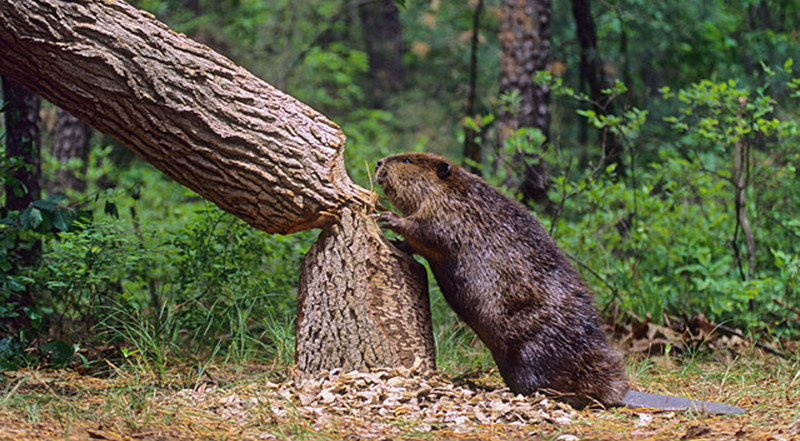 Beaver cutting tree