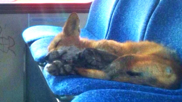 Fox sleeping in city bus